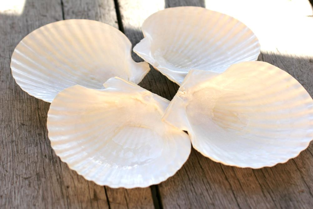 4 Large scalloped seashells